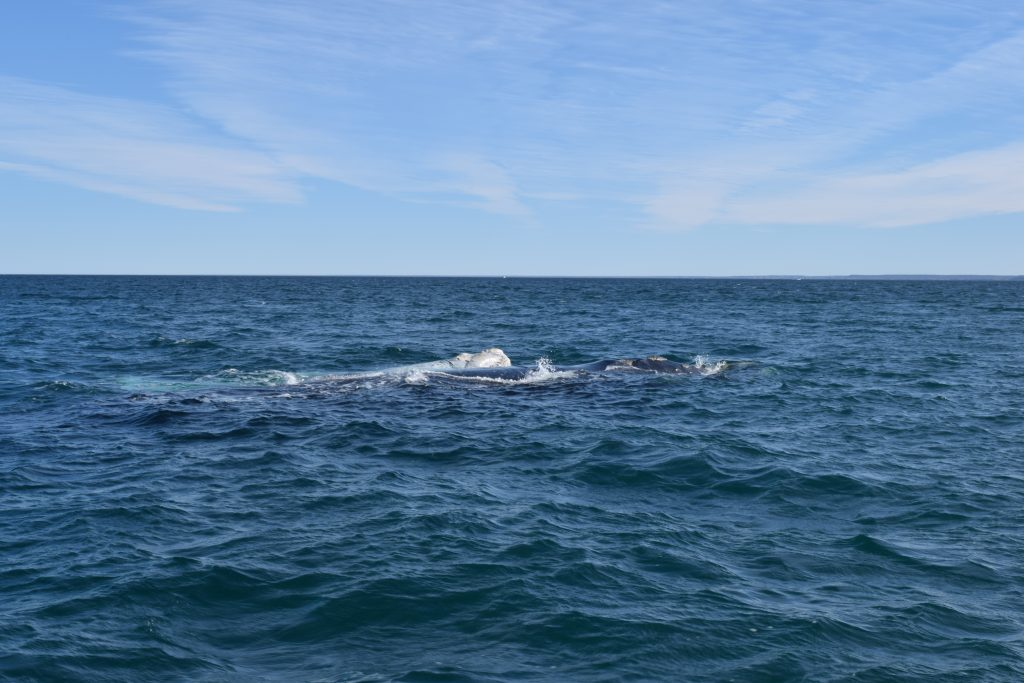 Whale Watching, Peninsula Valdes