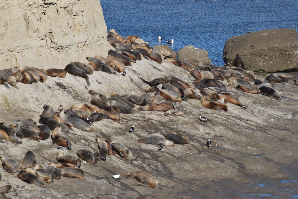 Colonia di leoni marini a Punta Piramides, Peninsula Valdes